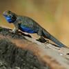 Jigsaw: Blue Lizard