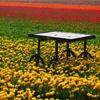 Jigsaw: Table In Tulip Field